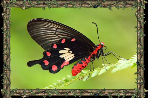 Pachliopta Aristolochiae - South Asia