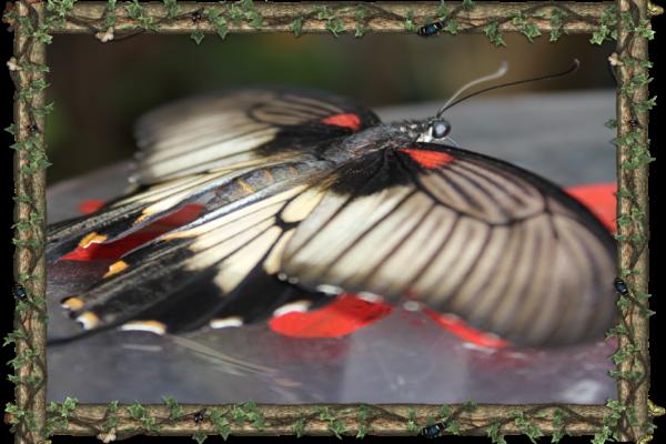 Papilio Memnon -  South Asia