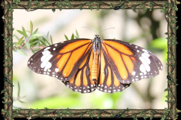 the-monarch-danaus-plexippus