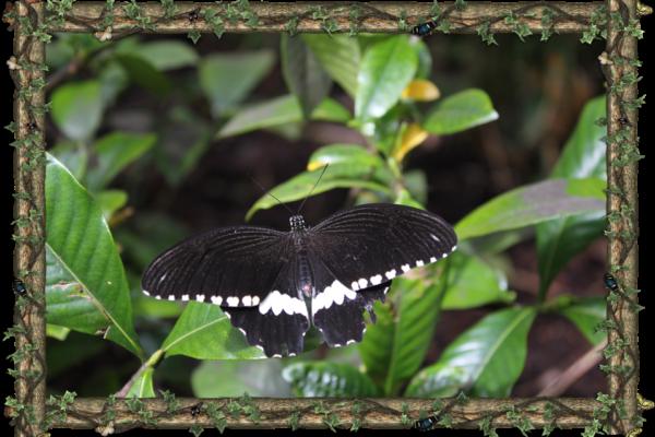Papilio Polytes - South Asia